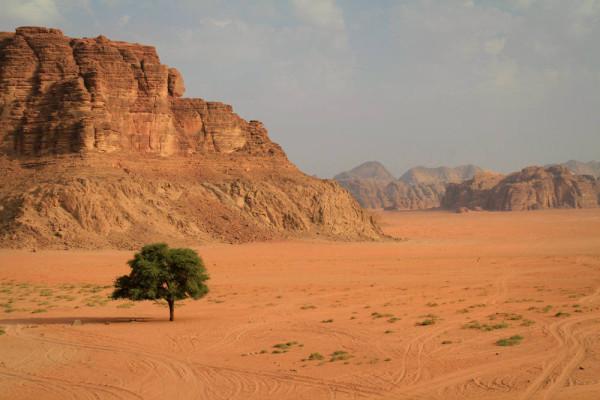 Boom in de Wadi Rum