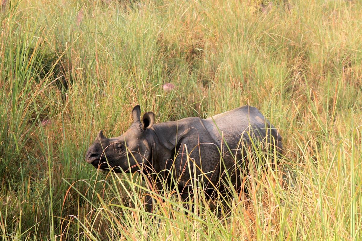 Neushoorn in Nepal