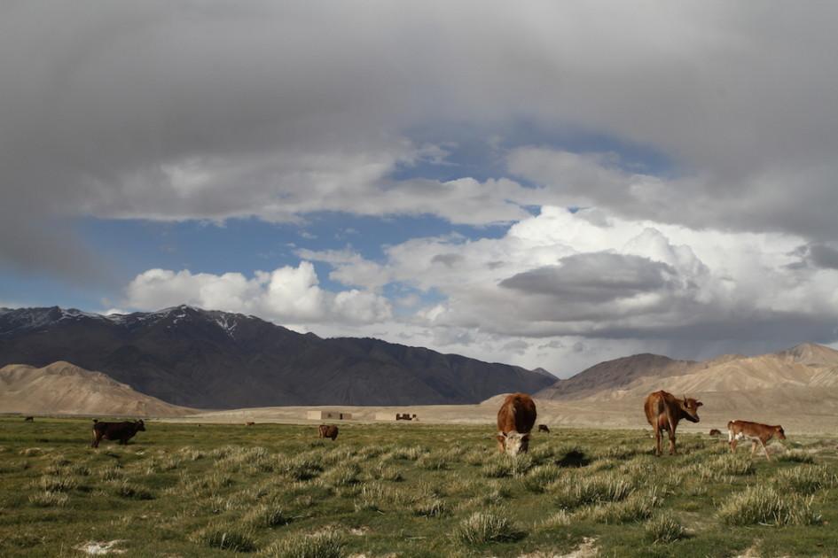 Koeien Bulunkul