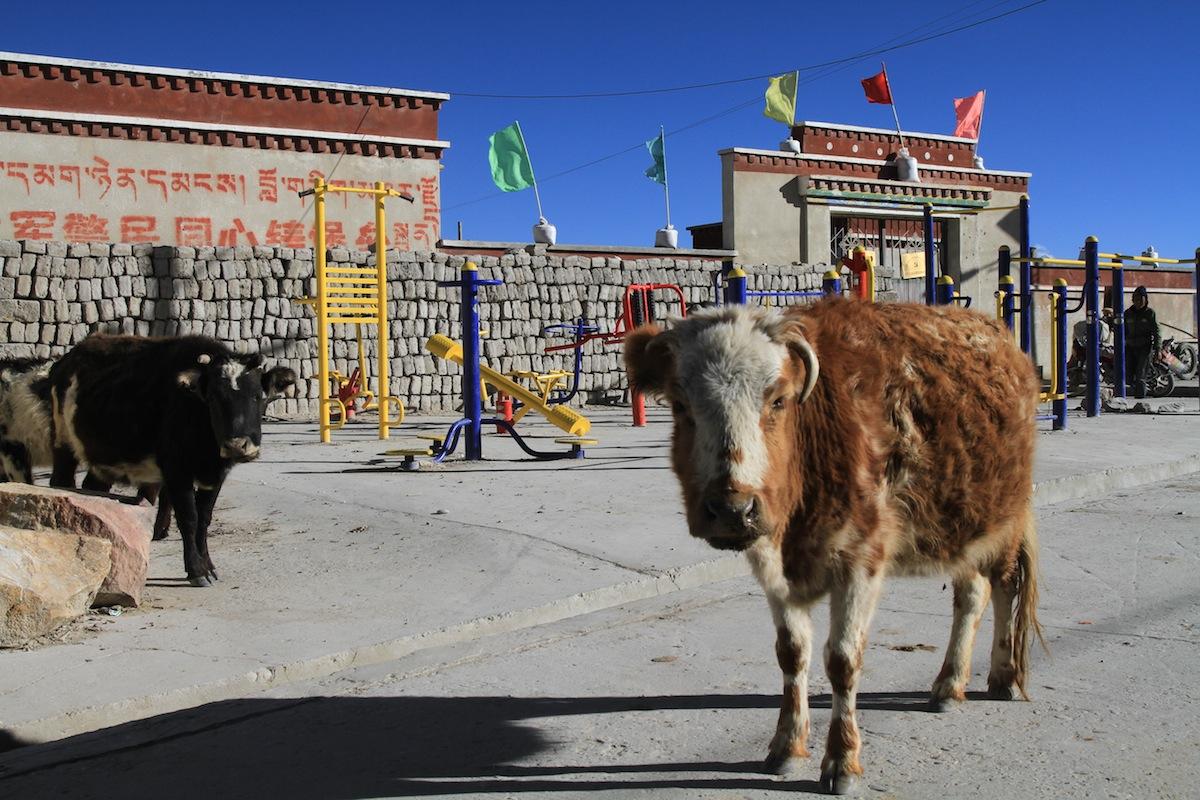 Koeien in Tibet