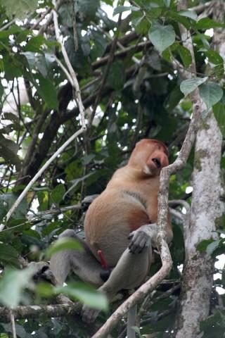 Probiscus Monkey