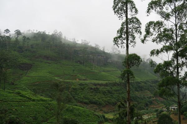 Thee Ceylon