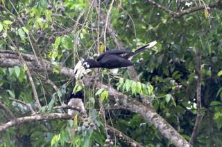 Vogel Hornbill